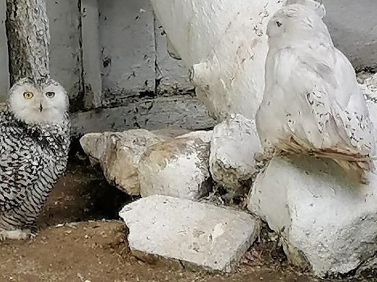 Абаканский зоопарк показал, как маскируются совы, и гуляет маленький  соболёк