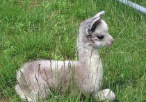 В передвижных зоопарках, стоящих в Улан-Удэ, родились ламы и тигрята