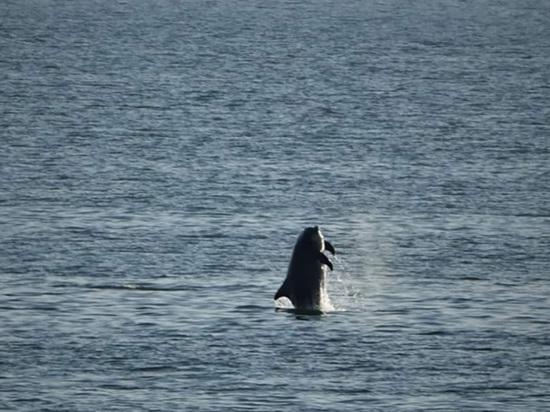 В Финский залив впервые за 85 лет вернулись дельфины