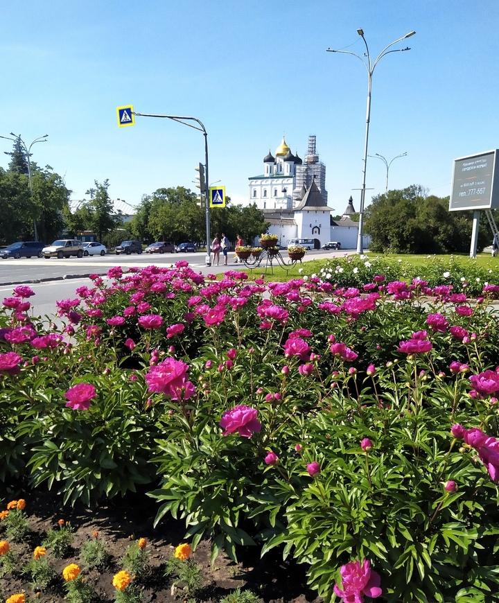 В Пскове на клумбах распустились пионы, фото-1