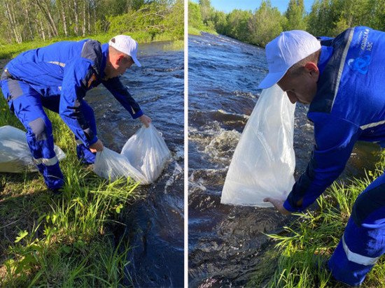 Более 2,5 тысяч мальков сёмги выпущено в реку Умба