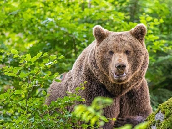На Сахалине медведь напал на подростков