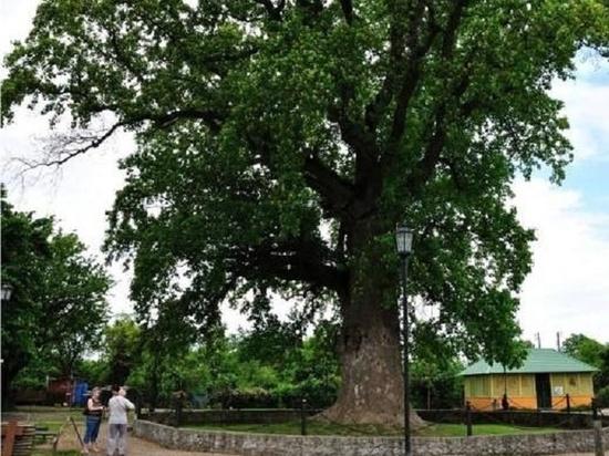 На Кубани пять деревьев-долгожителей получили статус памятников природы