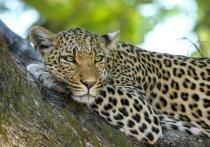 Зоологи рассказали об удивительном выздоровлении леопарда Эльбруса: задумались о невесте