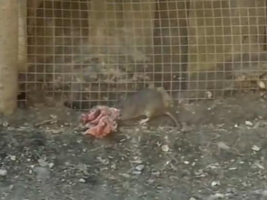 В Тверской области крысы воруют мясо у волка
