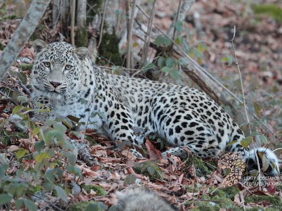 Программа восстановления популяции переднеазиатского леопарда на российском Кавказе стала лидером в деле возрождения редких животных