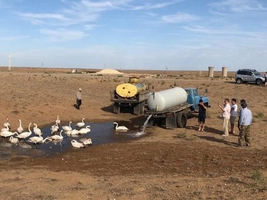 Калмыцкий поселок Эрдниевский спас диких лебедей от жары