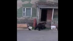 Медведь гулял по улицам посёлка в Магаданской области