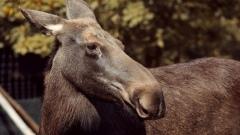 На Завеличье псковичи заметили лося
