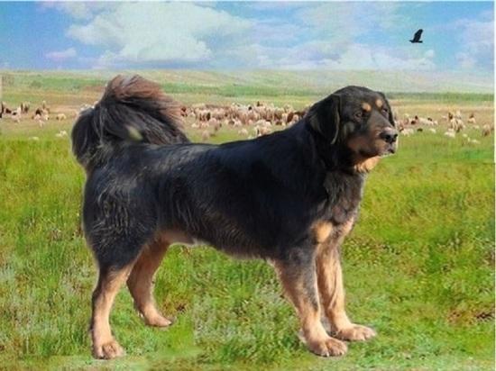 Зарегистрирована калмыцкая порода пастушьей собаки