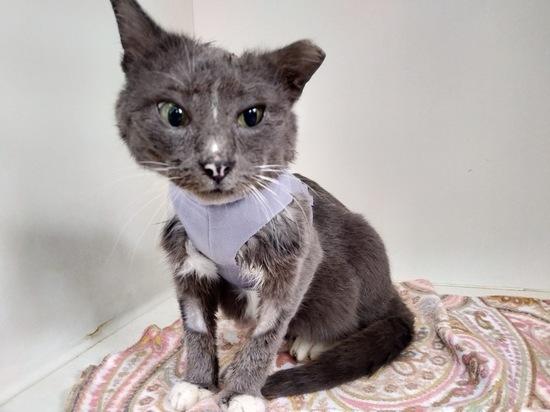 Волонтеры Инициативной группы по защите животных в Твери 29 июня рассказали историю спасения кота Ганса, которого с огромной раной не пускали домой собственные хозяева