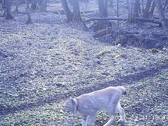 В Калужской области запечатлели редкого хищника