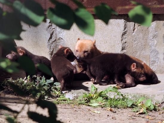 В зоопарке рассказали о судьбе новорожденных кустарниковых собак
