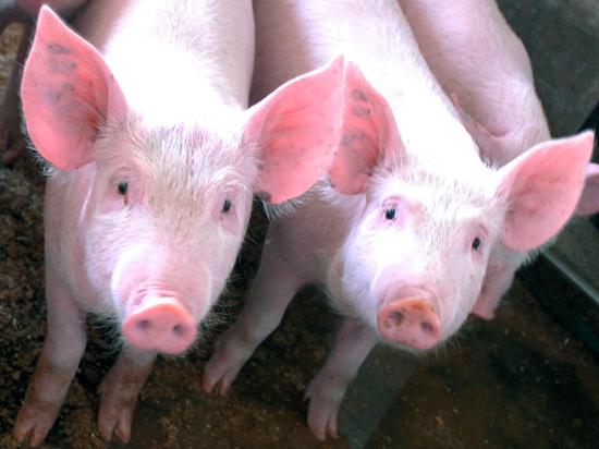 Новый свиной грипп в Китае угрожает пандемией