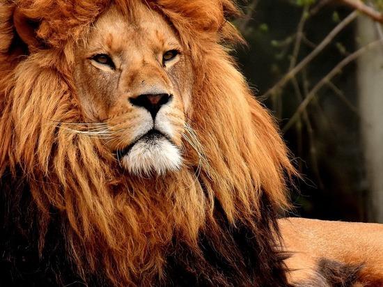 Российские ученые проверили на коронавирус львов и ежей
