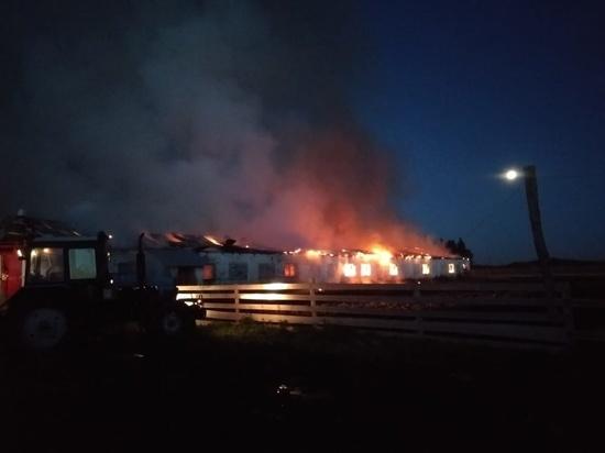 Из горящей свердловской фермы вывели 100 голов крупного рогатого скота