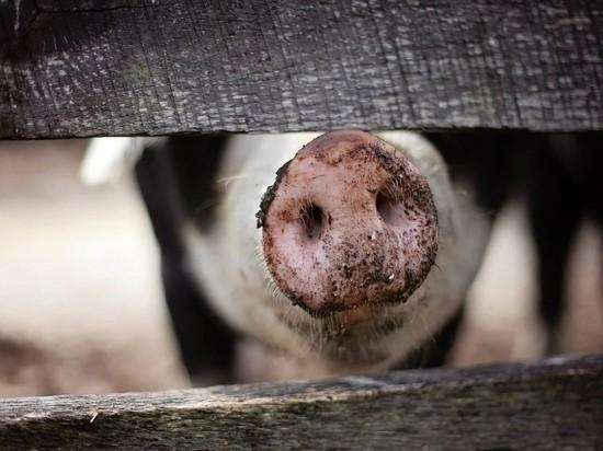 Китайские ученые поделились последними данными об опасности свиного гриппа