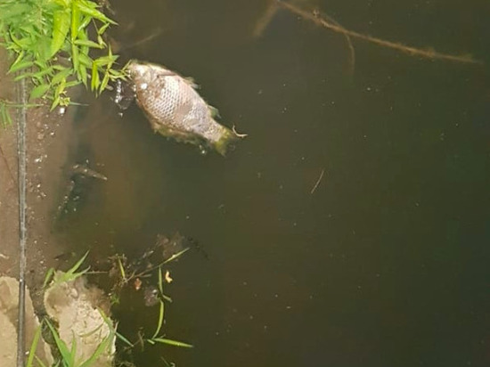 Мертвая рыба всплывает в пруду Платоновского парка Тулы