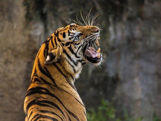 Амурская тигрица растерзала сотрудницу зоопарка Цюриха