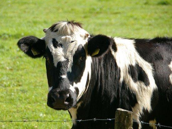 В Котельничском районе введён карантин из-за больной коровы