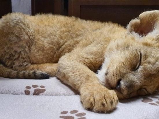 Спасенный волгоградскими полицейскими львенок станет звездой цирка