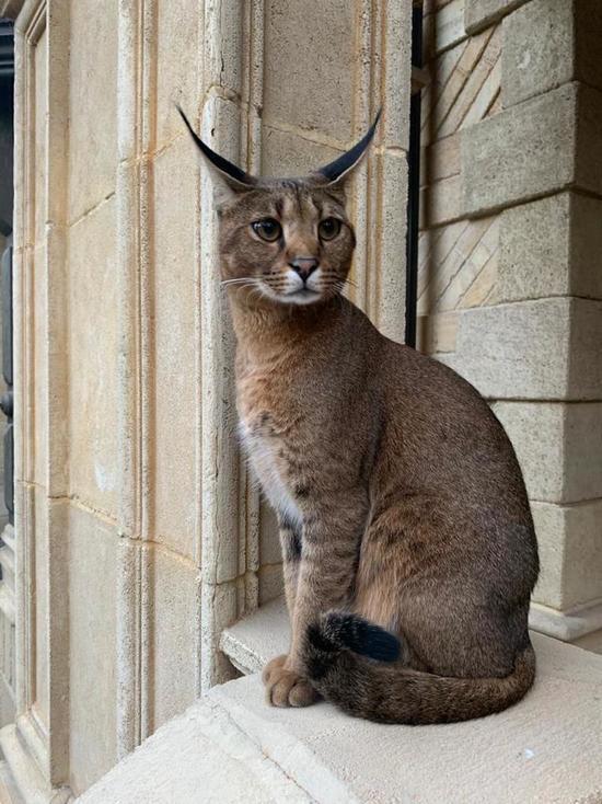 В Подмосковье убили кошку редкой породы стоимостью полмиллиона рублей