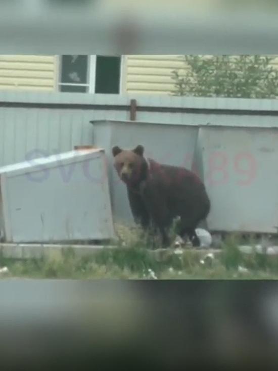 Медведь пробежался по центру Пангод и переполошил поселок