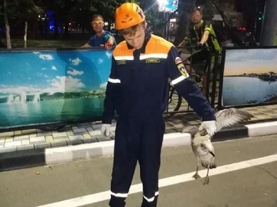 В Новороссийске спасли птенцов чаек, разгуливавших по автодорогам