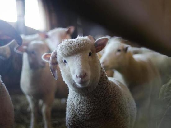 В Чувашии похитителя овец отправили в колонию строгого режима