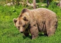В подмосковном лесу объявился кровожадный медведь: задрал козу, напугал грибников
