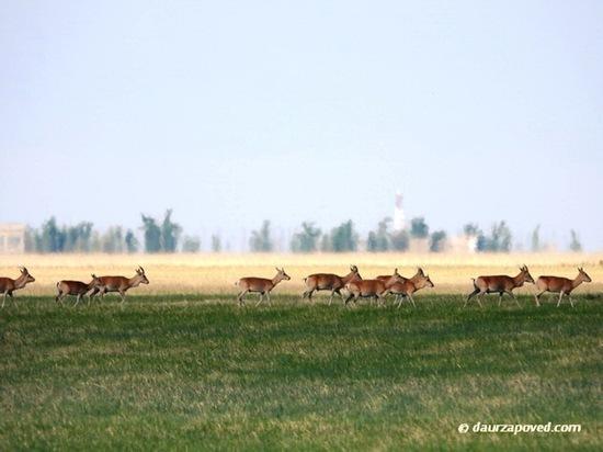 В Забайкалье посчитали краснокнижных антилоп