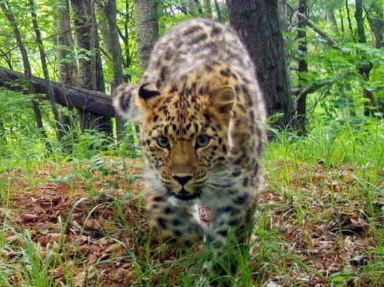 Создан искусственный интеллект для сохранения дальневосточного леопарда