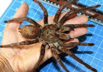 Через неделю костромичи смогут посмотреть на самого большого паука в мире