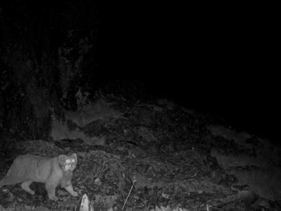 В заповеднике Хакасский попался в фотоловушку дикий кот манул