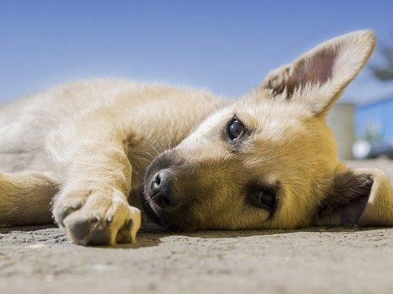Опасную болезнь обнаружили у собаки в Великих Луках