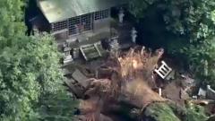 В Японии из-за дождей рухнуло тысячелетнее священное дерево: видео