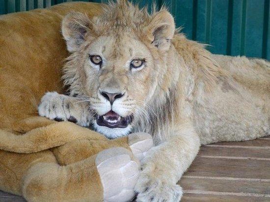 «Эти люди способны на все»: спасителю львенка Симбы угрожают неизвестные