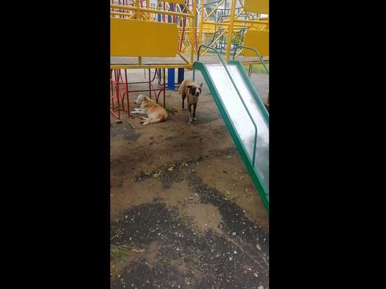 На детской площадке в Савелово поселились бездомные собаки | Видео