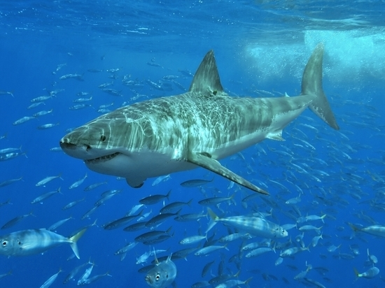 """8b4eb50c70b2b15886f1d26ad65d8bbc - Ремейк """"Челюстей"""" в Австралии: акула выхватила мальчика из лодки"""
