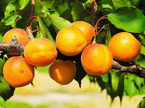 Первый вице-президент занимающейся строительством группы компаний «Ташир» Татевик Карапетян направила сегодня в московские больницы и хосписы тонну абрикосов.
