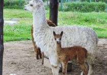 В Ярославском зоопарке рассказали, как назвали маленькую альпаку