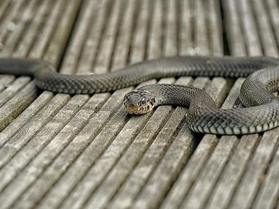 Жители Саяногорска все чаще встречают в городе змей