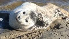 В Новом Порту нерпа приплыла к берегу и улеглась на песок