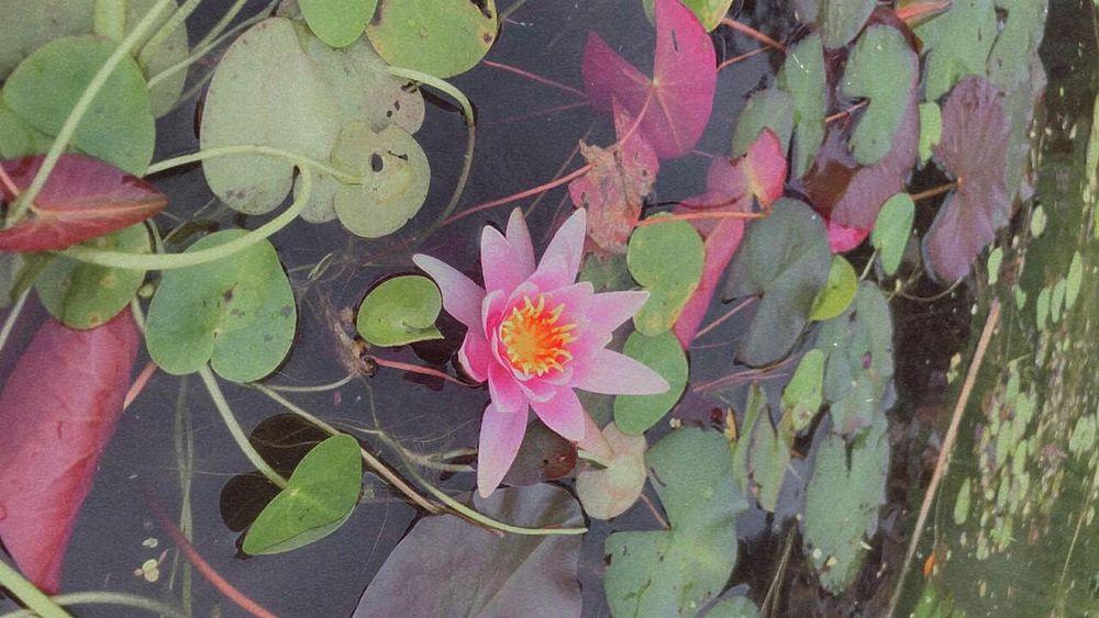 Лотосы зацвели на озере «Рица»