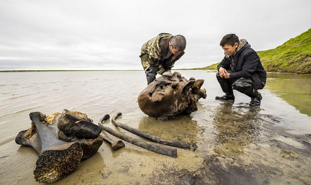 На Ямале продолжают находить фрагменты скелета мамонта: фоторепортаж