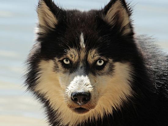Собаку, набросившуюся на ребенка в Красногорске, выпустил сосед по коммуналке