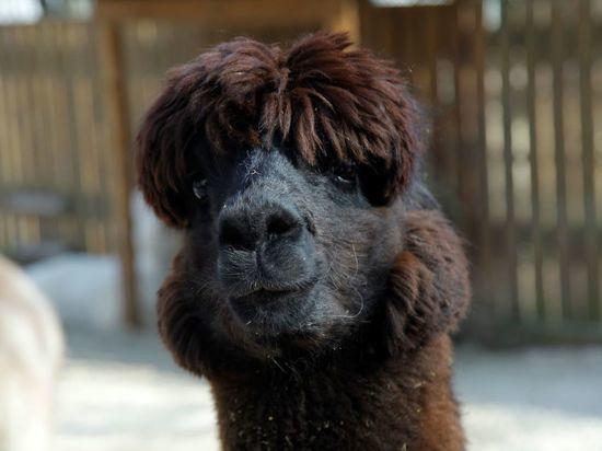 1 августа на Alpaca Wellbeing Fest отметят день альпаки