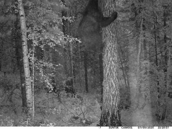 В Бурятии медведь балуется перед фотоловушкой