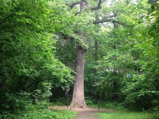 Дуб Пугачева в Марий Эл может стать «Деревом года»