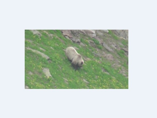 На Байкале нашли редкого медведя